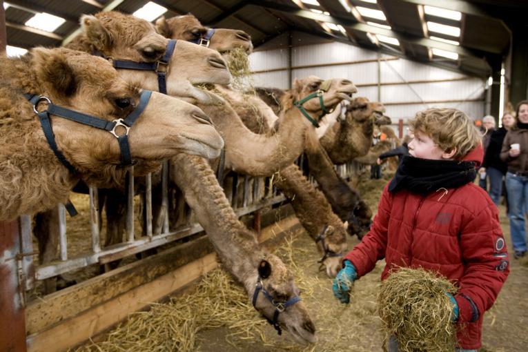 egyptenaren musea kamelenmelkerij
